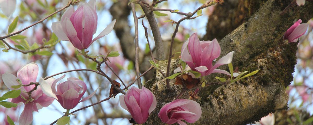 Blüten_Magnolien